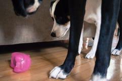 Δύο σκυλιά που εξετάζουν το παιχνίδι Στοκ Φωτογραφίες