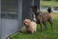 Δύο σκυλιά που κοιτάζουν μέσω της οθόνης Στοκ φωτογραφία με δικαίωμα ελεύθερης χρήσης
