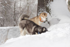 Δύο σκυλιά που κοιτάζουν στο χιόνι Huskies και γεροδεμένος Στοκ εικόνα με δικαίωμα ελεύθερης χρήσης