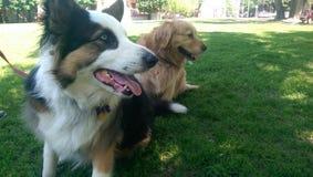 Δύο σκυλιά που προσέχουν άλλο παιχνίδι σκυλιών Στοκ φωτογραφίες με δικαίωμα ελεύθερης χρήσης
