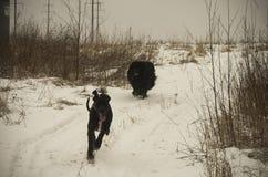 Δύο σκυλιά που τρέχουν στο χειμερινό χιόνι το βράδυ Στοκ Φωτογραφίες