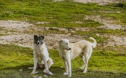 Δύο σκυλιά στην ιρακινή επαρχία Στοκ Εικόνα