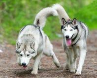 Δύο σκυλιά στην ομάδα που οργανώνονται στη δασική διαδρομή Στοκ Εικόνα