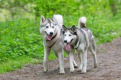 Δύο σκυλιά στην ομάδα που οργανώνονται στη δασική διαδρομή Στοκ Φωτογραφίες