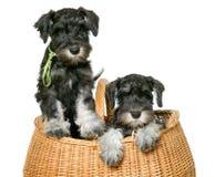 Δύο σκυλιά στην τσάντα Στοκ φωτογραφία με δικαίωμα ελεύθερης χρήσης