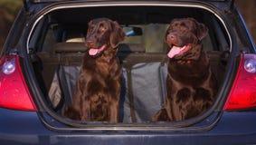Δύο σκυλιά στο φορτηγό ενός αυτοκινήτου Στοκ Φωτογραφίες