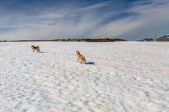 Δύο σκυλιά στο χιόνι Στοκ εικόνα με δικαίωμα ελεύθερης χρήσης