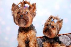 Δύο σκυλιά του Γιορκσάιρ στο ψάθινο καλάθι Στοκ Φωτογραφίες