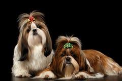 Δύο σκυλιά του shih-tzu φυλής στο μαύρο υπόβαθρο στοκ εικόνες