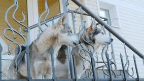 Δύο σκυλιά όπως τη Λάικα περιμένουν τον κύριό τους στο μέρος του σπιτιού Αφοσίωση και φιλία απόθεμα βίντεο