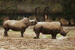 Δύο στηργμένος ρινόκεροι Στοκ εικόνα με δικαίωμα ελεύθερης χρήσης