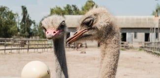 Δύο στρουθοκάμηλοι που εξετάζουν τα αυγά στρουθοκαμήλων στο αγρόκτημα στρουθοκαμήλων Στοκ Εικόνες
