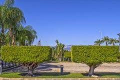 Δύο συμμετρικά πράσινα δέντρα περικοπών σε έναν κύβο διαμορφώνουν Σχέδιο τοπίων στο πάρκο παραλιών antalya Τουρκία Στοκ φωτογραφία με δικαίωμα ελεύθερης χρήσης