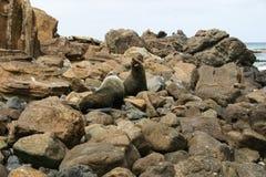 Δύο σφραγίδες έτοιμες να παλεψουν, Otago, Νέα Ζηλανδία Στοκ Φωτογραφία