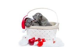 Δύο ταϊλανδικά κουτάβια ridgeback στα Χριστούγεννα ΚΑΠ στο καλάθι Στοκ εικόνα με δικαίωμα ελεύθερης χρήσης