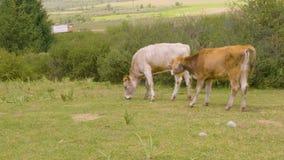 Δύο ταύροι που συνδέονται μαζί με τη βοσκή σχοινιών στον πράσινο τομέα στην κοιλάδα βουνών φιλμ μικρού μήκους