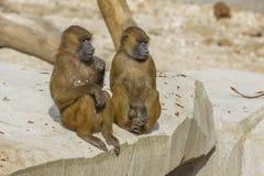 Δύο της Γουινέας Baboons που κάθονται από κοινού Στοκ Φωτογραφίες
