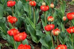 Δύο τουλίπες χρώματος στον κήπο Στοκ φωτογραφίες με δικαίωμα ελεύθερης χρήσης