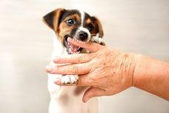 Δύο του Jack Russell τεριέ κουταβιών μηνών χεριών δαγκώματος του παλαιού παλληκαριού στοκ εικόνες