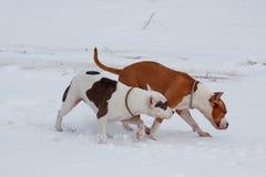 Δύο το αμερικανικό Staffordshire τεριέ παίζει σε ένα άσπρο χιόνι Στοκ εικόνα με δικαίωμα ελεύθερης χρήσης