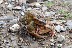 Δύο τρελλοί βάτραχοι άνοιξη Στοκ εικόνα με δικαίωμα ελεύθερης χρήσης