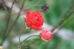 Δύο τριαντάφυλλα, bokkeh υπόβαθρο στοκ φωτογραφίες