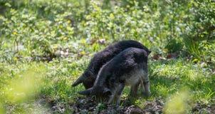 Δύο τριχωτοί χοίροι σκάβουν το έδαφος στο δάσος Στοκ Φωτογραφία