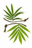 Δύο τροπικά φύλλα με τα σκοινιά Στοκ Φωτογραφίες