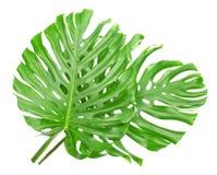 Δύο τροπικά φύλλα Στοκ φωτογραφία με δικαίωμα ελεύθερης χρήσης