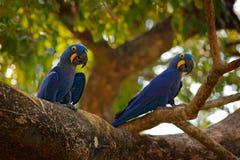 Δύο υάκινθος Macaw, hyacinthinus Anodorhynchus, μπλε παπαγάλος Μεγάλος μπλε παπαγάλος πορτρέτου, Pantanal, Βραζιλία, Νότια Αμερικ Στοκ Εικόνες