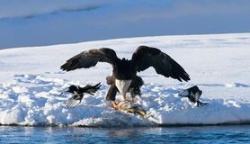 Δύο φαλακροί αετοί παλεύουν για το θήραμα ΗΠΑ albedo Ποταμός Chilkat στοκ εικόνες με δικαίωμα ελεύθερης χρήσης