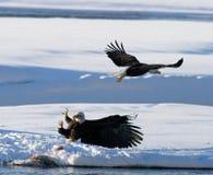 Δύο φαλακροί αετοί παλεύουν για το θήραμα ΗΠΑ albedo Ποταμός Chilkat στοκ εικόνες