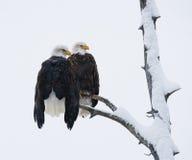 Δύο φαλακροί αετοί που κάθονται σε έναν κλάδο δέντρων ΗΠΑ albedo Ποταμός Chilkat στοκ φωτογραφία