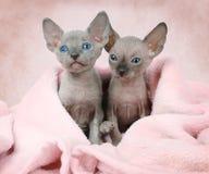 Δύο φορούν τα γατάκια Sphinx σε ένα κρεβάτι Στοκ εικόνες με δικαίωμα ελεύθερης χρήσης