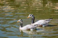 Δύο φραγμός-διευθυνμένο indicus Anser χήνων Κολύμβηση στο νερό Στοκ Φωτογραφία