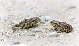 Δύο φρύνοι στο αμμοχάλικο στοκ εικόνες