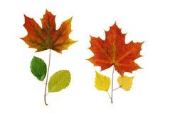 Δύο φυτά από τα φύλλα Στοκ Εικόνες