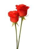 Δύο φωτεινά κόκκινα τριαντάφυλλα Στοκ Εικόνα