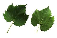 Δύο φύλλα σταφυλιών που απομονώνονται από την άσπρη πλευρά υποβάθρου, κορυφών και κατώτατων σημείων του φύλλου στοκ φωτογραφίες