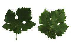 Δύο φύλλα σταφυλιών που απομονώνονται από την άσπρη πλευρά υποβάθρου, κορυφών και κατώτατων σημείων του φύλλου στοκ εικόνες με δικαίωμα ελεύθερης χρήσης