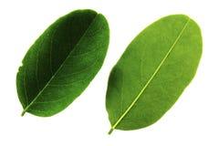 Δύο φύλλα της ακακίας που απομονώνεται από το άσπρο υπόβαθρο, την κορυφή και την κατώτατη πλευρά του φύλλου στοκ εικόνα με δικαίωμα ελεύθερης χρήσης