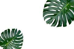 Δύο φύλλα φυτών Monstera, η τροπική αειθαλής τοπ άποψη αμπέλων στοκ εικόνα