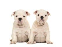 Δύο χαριτωμένα άσπρα αγγλικά σκυλιά κουταβιών μπουλντόγκ που κάθονται μαζί και που εξετάζουν τη κάμερα Στοκ εικόνες με δικαίωμα ελεύθερης χρήσης