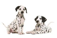 Δύο χαριτωμένα δαλματικά σκυλιά κουταβιών στοκ φωτογραφίες