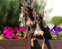 Δύο χαριτωμένα μαύρα σκυλιά κάθονται στα λουλούδια Στοκ εικόνα με δικαίωμα ελεύθερης χρήσης