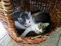 Δύο χαριτωμένα μικρά γατάκια με τα μπλε μάτια σε έναν κάδο Στοκ φωτογραφία με δικαίωμα ελεύθερης χρήσης