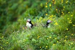 Δύο χαριτωμένα πουλιά Puffins που κάθονται στα λουλούδια, Ισλανδία Στοκ Εικόνες