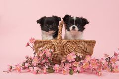Δύο χαριτωμένα σκυλιά κουταβιών chihuahua σε ένα καλάθι σε ένα ρόδινο υπόβαθρο W Στοκ Φωτογραφίες