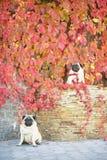 Δύο χαριτωμένα σκυλιά μαλαγμένων πηλών κάθονται στα φωτεινά φύλλα φθινοπώρου των άγριων σταφυλιών στοκ φωτογραφία με δικαίωμα ελεύθερης χρήσης