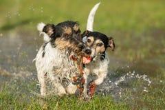 Δύο χαριτωμένα σκυλιά τεριέ του Jack Russell που παίζουν και που παλεύουν με μια σφαίρα σε μια λακκούβα νερού το snowless χειμώνα στοκ εικόνα